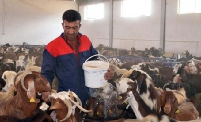 Devlet desteği ile kurduğu çiftlikte keçi sütü üretiyor