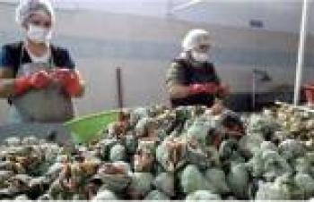 Balık bitince, Akçakocalı salyangoz ihracatına başladı