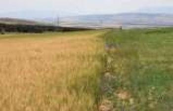 Alternatif yem bitkilerinin yetişme alanı 100 bin dekarı aşacak